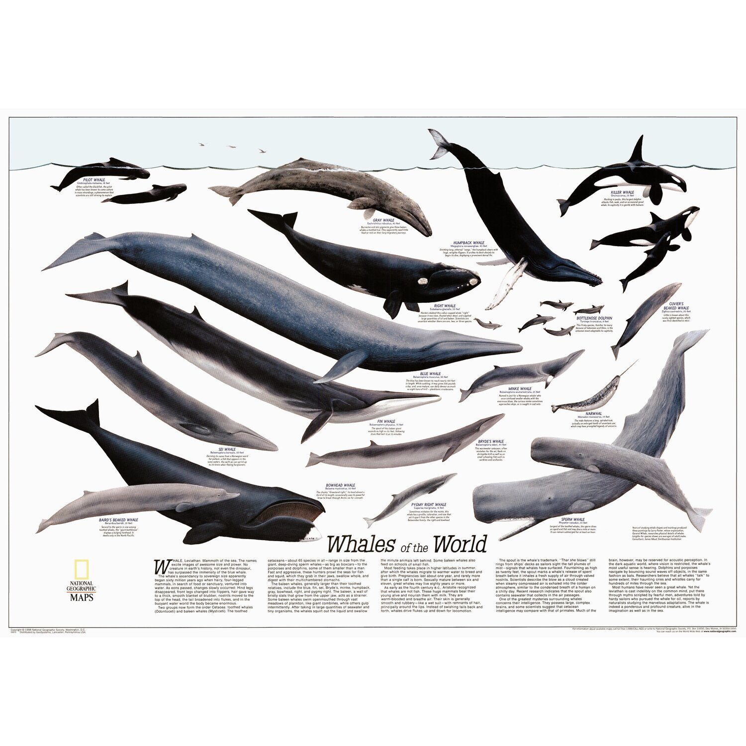 the characteristics of dolphins and porpoises mammals from the group cetacean Cetacean is a word used to describe all whales, dolphins, and porpoises learn about the characteristics of cetaceans how they survive in the ocean.