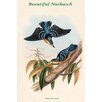 Buyenlarge 'Sitta Formosa Beautiful Nuthatch' by John Gould Graphic Art