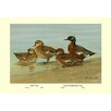 Buyenlarge Gray Teal and Chestnut-Breasted Teal by Allan Brooks Painting Print
