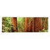 iCanvas Panoramic Redwoods Muir Woods California Photographic Print on Canvas
