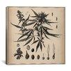 iCanvas Male Cannabis Sativa Scientific Drawing Canvas Wall Art