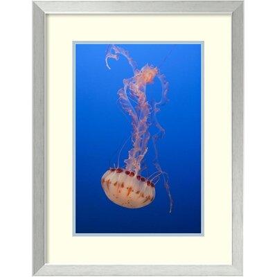 Purple-striped Jellyfish, Monterey Bay Aquarium, California by Suzi Eszterhas Framed ...