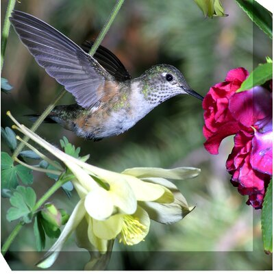 West of the Wind Outdoor Canvas Art Hummingbird #4 Wrapped Photographic Print on Canvas