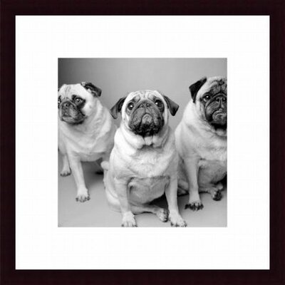 Printfinders Three Pugs by Amanda Jones Framed Photographic Print