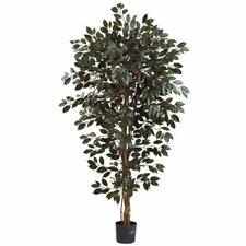 Capensia Ficus Tree in Pot