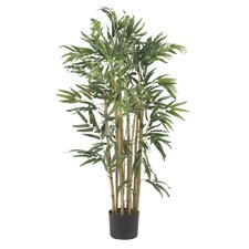 Multi Bambusa Bamboo Tree in Planter