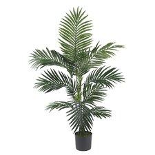 Kentia Palm Tree in Pot