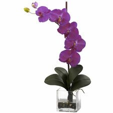 Giant Phalaenopsis Orchid in Glass Planter