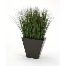 Silk Grass in Planter