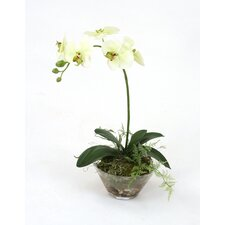 Waterlook Phaleanopsis Orchid with Fern in Glass Bowl