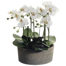 Phalaenopsis Orchid Plant in Clay Pot