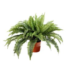 Floral Boston Fern in Orange Ceramic Pot
