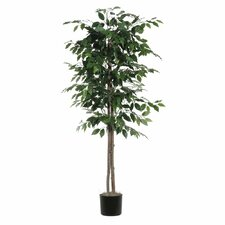Nisswa Berry Ficus Tree in Pot