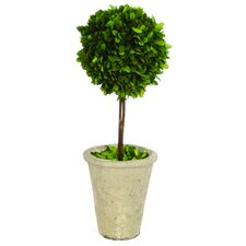 Single Ball Boxwood Round Tapered Topiary in Planter