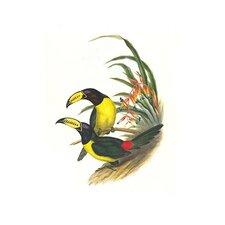 'Lettered Aracari' by John Gould Wall Art