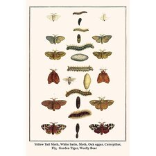 'Yellow Tail Moth White Satin Moth Oak Eggar Caterpillar' by Albertus Seba Graphic Art