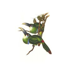 'Blue Banded Toucanet' by John Gould Graphic Art