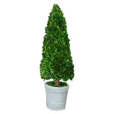 Boxwood Cone Topiary in Pot