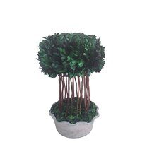 """17"""" Preserved Natural Boxwood Half Ball Topiary in Planter"""