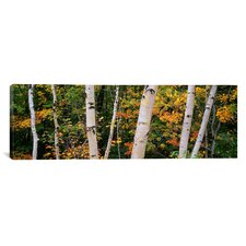 Panoramic Birch Trees in a Forest, New Hampshire Photographic Print on Canvas