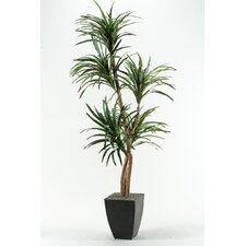 Dracaena Tree in Planter