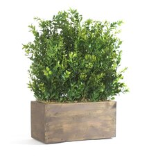 Small Table Top Boxwood in Wood Planter