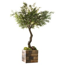 Succulent and Olive Tree in Wooden Planter