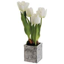Tulip in Terra Cotta Pot