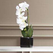 Jarvis Phalaenopsis Plant in Ceramic Pot