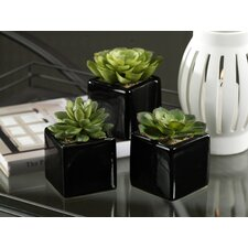 Barclay Buetera Desert Succulent in Container (Set of 6)