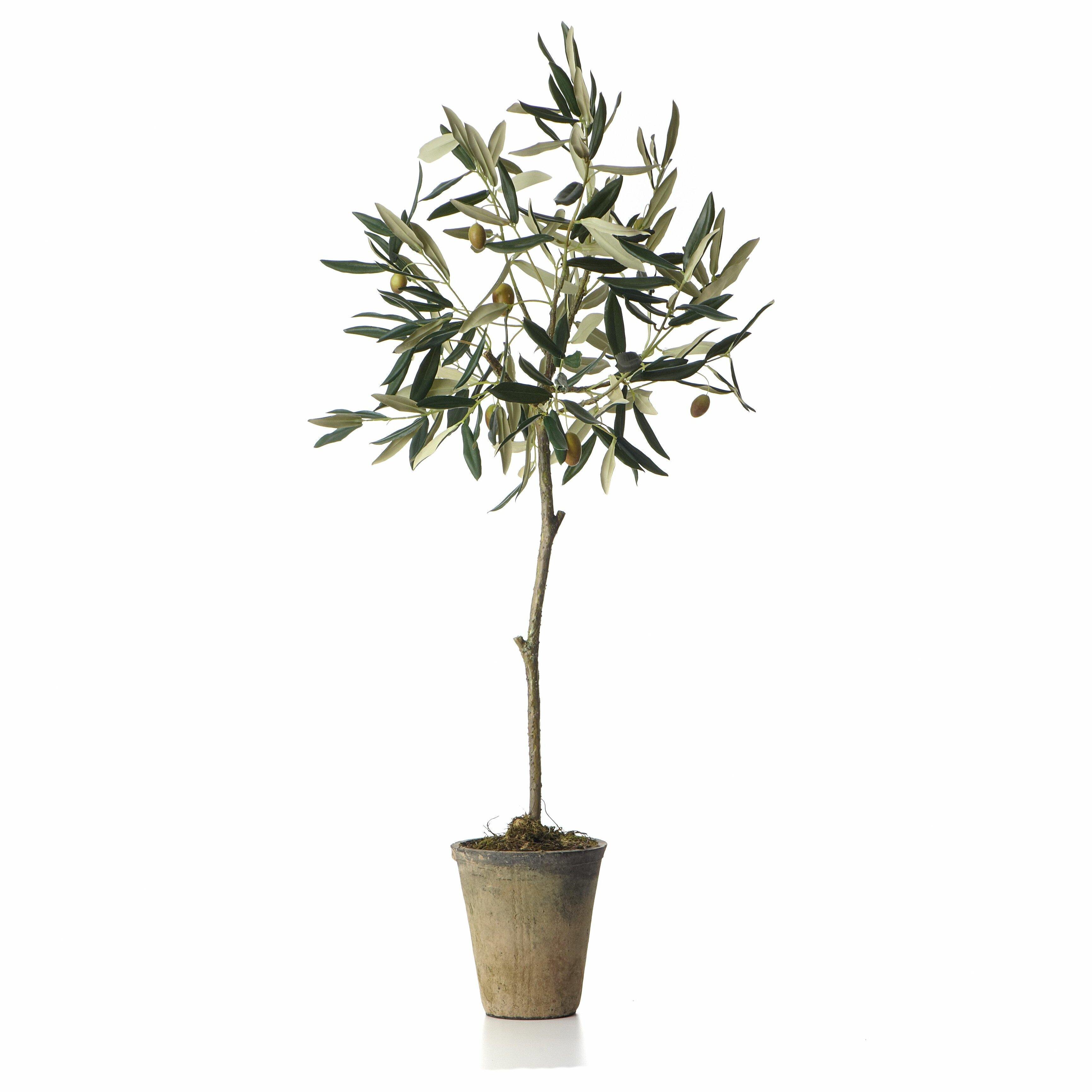 sage co potted olive tree in pot reviews wayfair. Black Bedroom Furniture Sets. Home Design Ideas