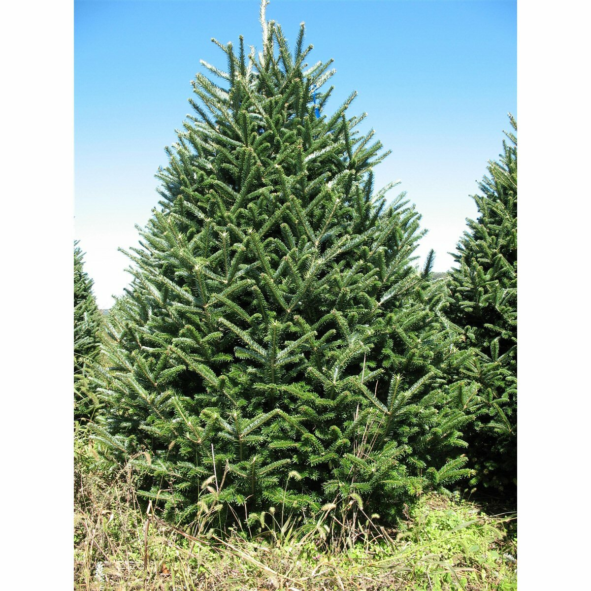 Where To Cut Christmas Trees: Real Christmas Trees Delivered 7.5'